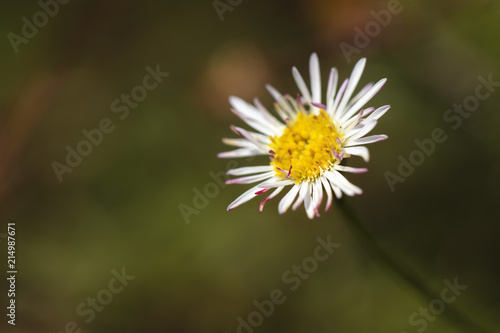 Lone Daisy with yellow center with white and purple petals Wallpaper Mural