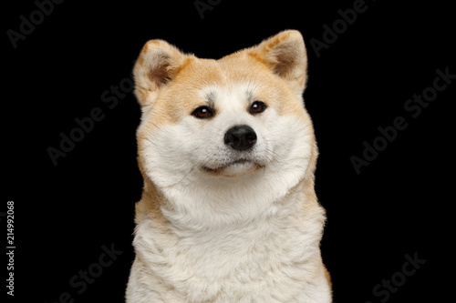 Portrait of Cuddly Akita Inu Dog Cute looking on Isolated Black Background, fron Canvas Print