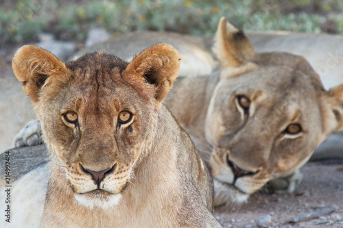 Foto  Lioness in Etosha National Park in Namibia in Africa