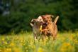 canvas print picture - Zwei Labradore spielen in einer Blumenwiese