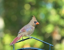 A Single Female Cardinal Bird Is Perching On The Bird Feeder Stand On The Soft Focus Garden Background, Autumn In GA USA.