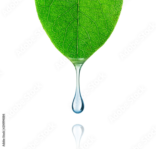 Obraz Drop of water drips from a leaf close-up on white background - fototapety do salonu