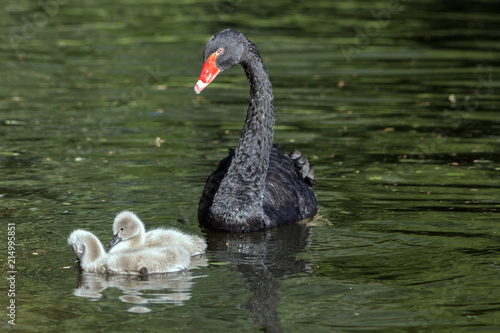 Fotobehang Zwaan A black swan with his two little ones in the pond. (Cygnus atratus)