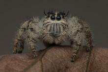 Jumping Spider On A Leaf, Jaka...