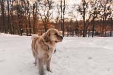 Golden Retriever Dog Standing In The Snow