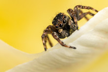 A Brown Jumping Spider On The ...