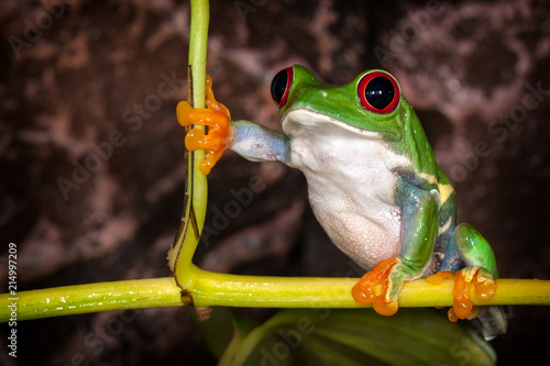 Tuinposter Kikker Red eyed tree frog in very substantial pose sitting on the plant stem