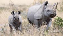 Female Rhino With Her Rhino Ca...