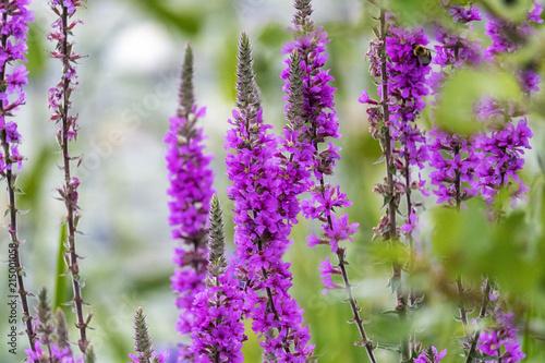 Fotobehang Lavendel Fleur sauvage du Québec dans un marais