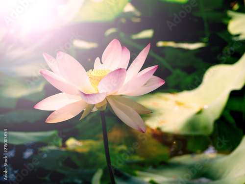 Fotobehang Lotusbloem Aquatic plant Nelumbo Adans with lotus flowers