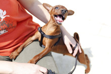 Stag Red Miniature Pinscher Do...