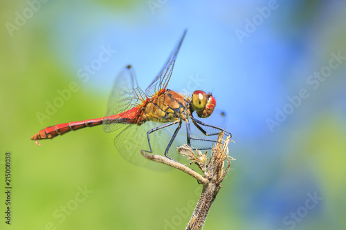 Fotografia, Obraz  Closeup of a male red colored Ruddy darter (Sympetrum sanguineum) resting in sun
