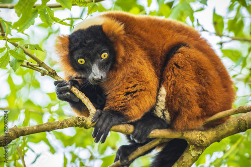 Red Ruffed Lemur Varecia rubra looking down from a tree