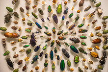 An Antique Beetle Collection
