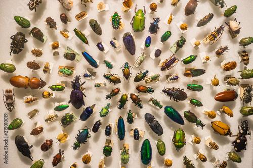 Vászonkép An antique beetle collection