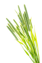 Grass Stems Phleum