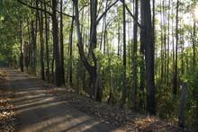 Estrada De Terra Ao Longo De  Plantaçao De Arvores De Eucalipto  Brasil Inverno 2018
