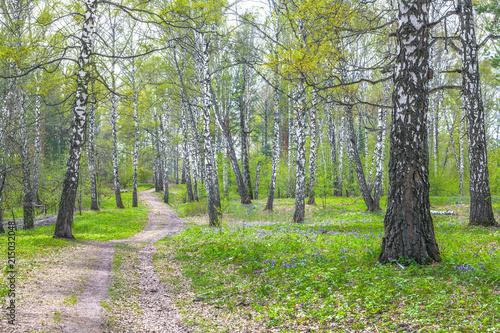 Spoed Foto op Canvas Birch forest in early spring in Siberia.
