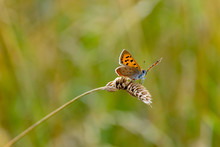 Large Copper Butterfly (Lycaena Dispar) Resting On Dried Wild Grass Seed Head