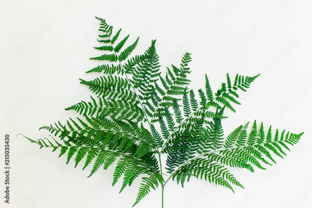 Fototapeta Beautiful healthy fern leaf on white background. Forest fern plant.