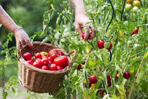 Foto Farmer is harvesting tomatoes