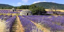 Old Borie And Lavender Field I...