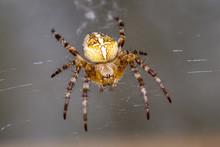 Garden Spider (Araneus Diadematus) - Macro Shot