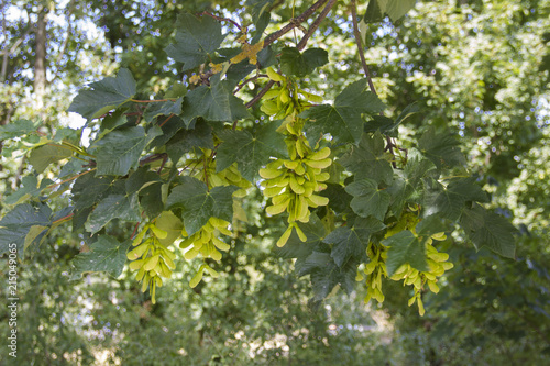 Photo Leaves and fruits of a field maple (Acer campestre)