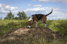 Beagle Stands On A Small Mulch Hill