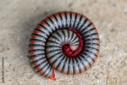 Image close-up of millipede is rolling protection it self on the ground.