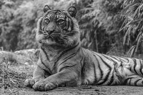 Photo Stands Tiger Bengal Queen