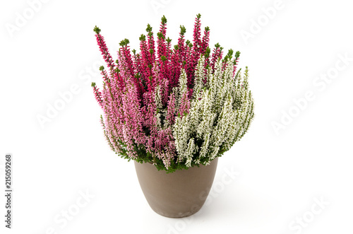 Calluna vulgaris Canvas Print