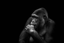 Schöner Gorilla Beim Essen In...