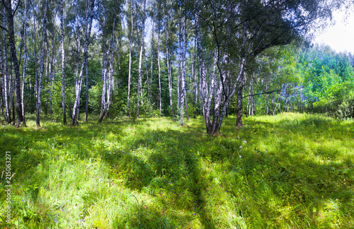 birch grove with breaking rays of the summer sun
