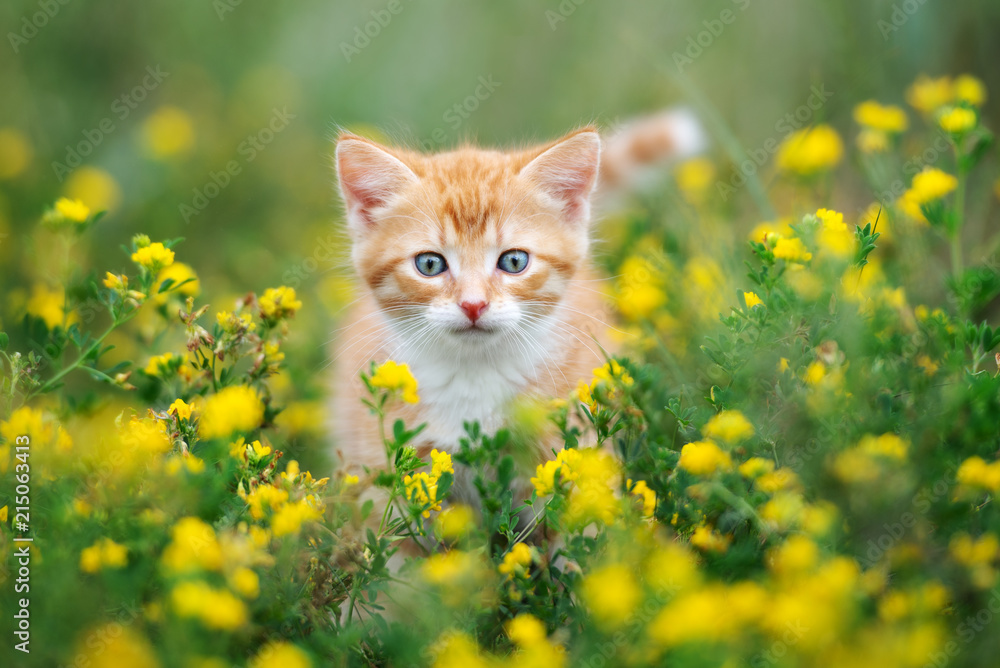 beautiful red kitten posing in grass outdoors