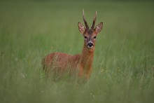 Roe Buck (Capreolus Capreolus) In Tall Grass