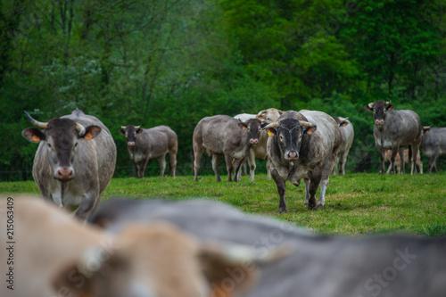 Foto op Canvas Schapen Bazadaise cows and calves daisy in the meadow