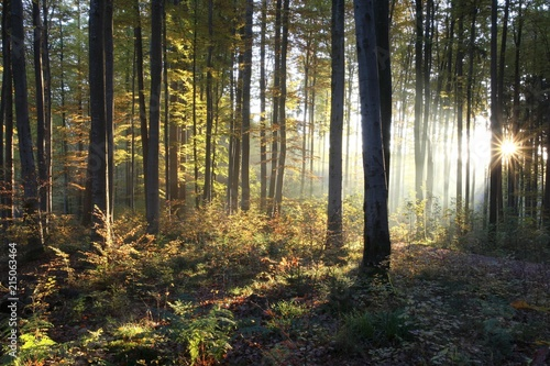 Common beeches (Fagus sylvatica), sunrise in a beech forest in autumn, Allgaeu region, Bavaria, Germany, Europe