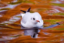 Black-headed Gull (Larus Ridibundus), Fall Colours Reflected On The Water's Surface, Luisenpark, Mannheim, Baden-Wuerttemberg, Germany, Europe