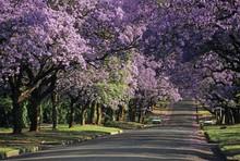 Jacaranda In Blossom, Pretoria...