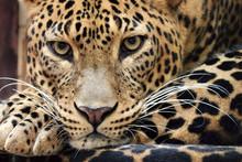 Portrait Of Sri Lankan Leopard