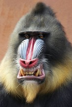 Portrait Of Mandrill
