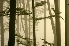 View Of Misty Beech Forest