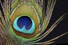 Plume Of A Peacock
