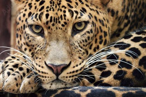 Keuken foto achterwand Luipaard Sri Lanka Leopard (Panthera pardus kotiya)