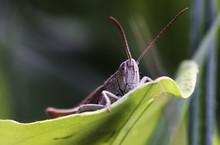 Close Up Of Grasshopper Perchi...