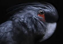Close Up Of Cockatoo Against B...