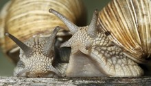 Close Up Of Snails