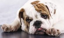 English Bulldog Looking Tired