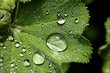 Close up of rain drops on lady's mantle leaf